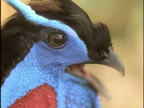 [分享]會變臉的鳥:紅腹角雉