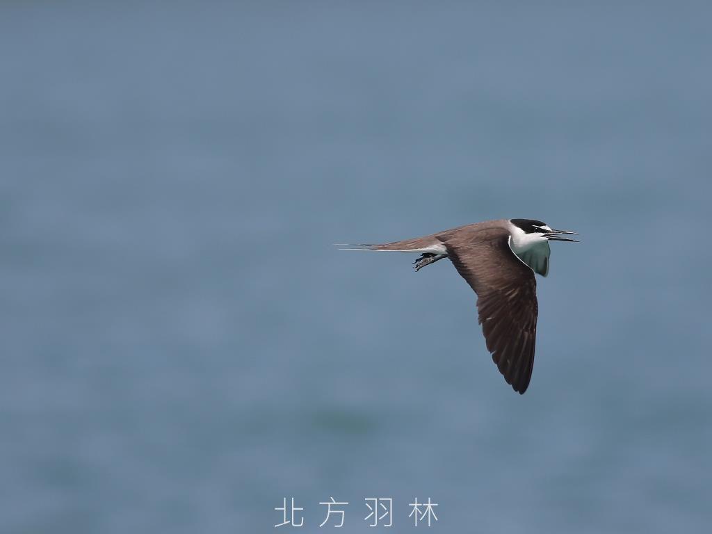飛羽-白眉燕鷗